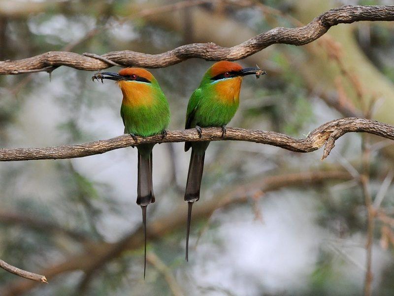 Böhmspinte - Foto Central African Wilderness Safari