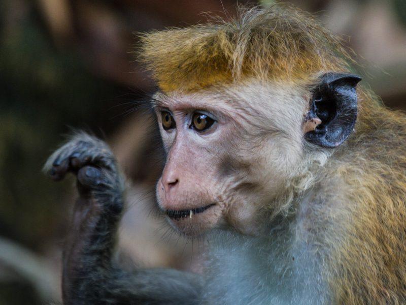 Ceylon-Hutaffe - Foto Ulrike Wizisk