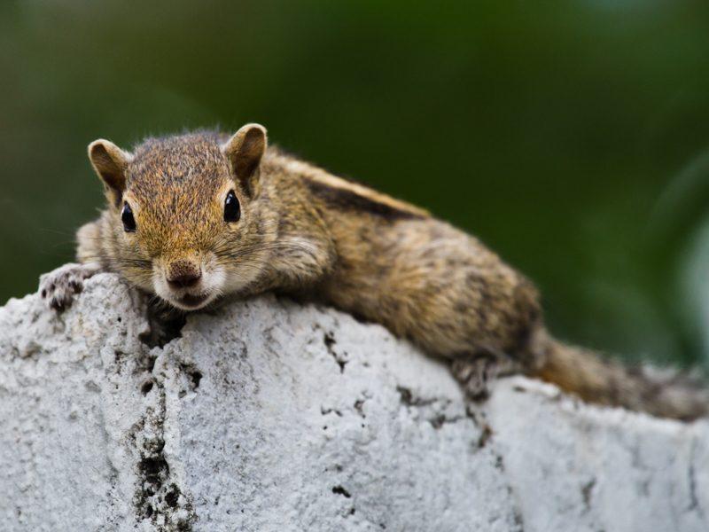 Layard-Palmenhörnchen - Foto Helmut Wizisk