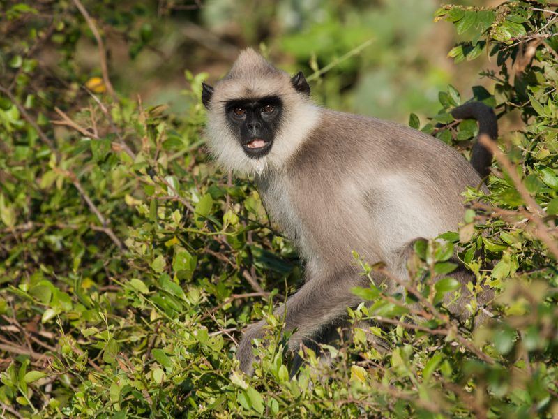 Südlicher Hanuman-Langur - Foto Ulrike Wizisk