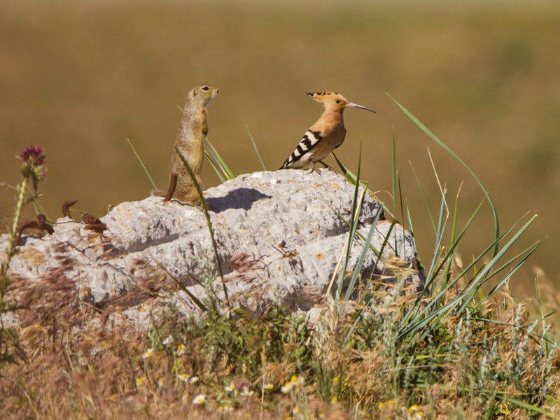 Ziesel und Wiedehopf - Foto Ulrike Wizisk