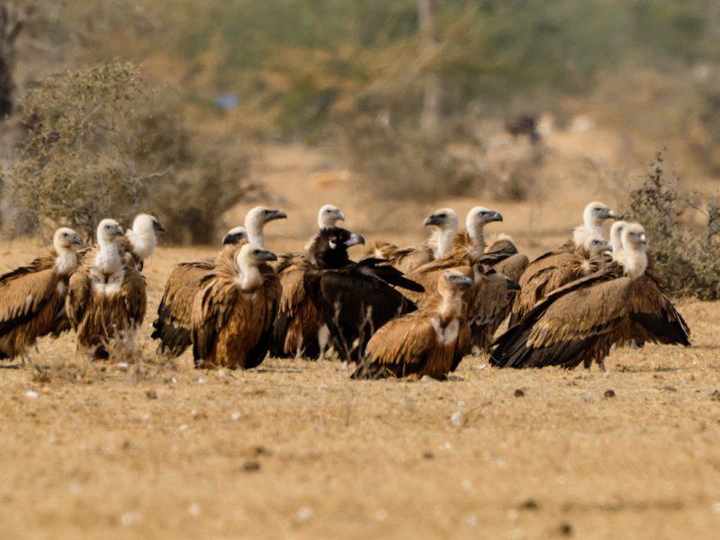 Gänsegeier in Bikaner - Foto Ernst Nowotny