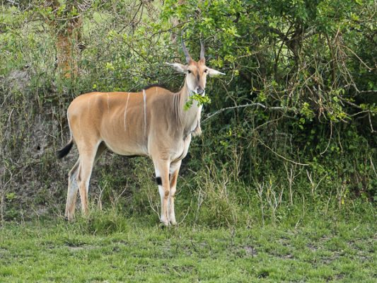 Elenantilope (Uganda)