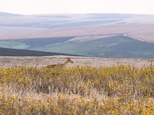 Pferdeantilope, Jungtier (Hippotragus equinus)