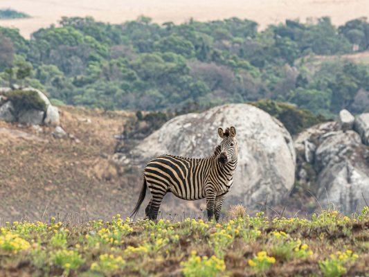 Crawshay-Zebra (Equus quagga crawshayi)
