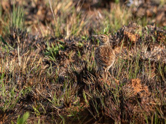 Kurzhaubenlerche -Mirafra africana nyikae