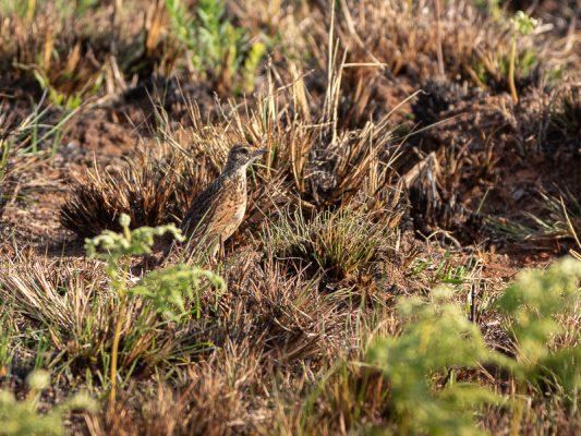 Kurzhaubenlerche - Mirafra africana nyikae