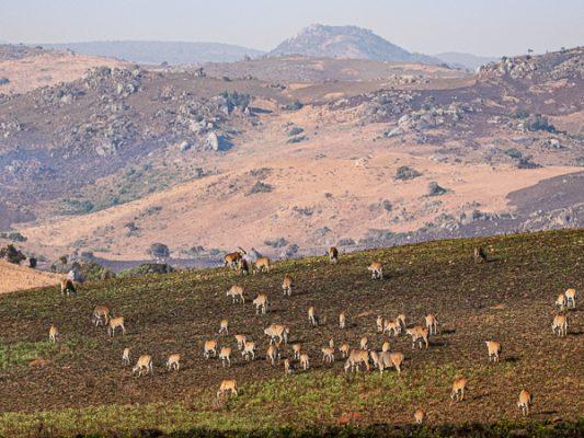 Elenantilopen im Nyika National Park