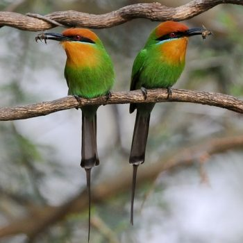 Bohm's bee-eaters_cr