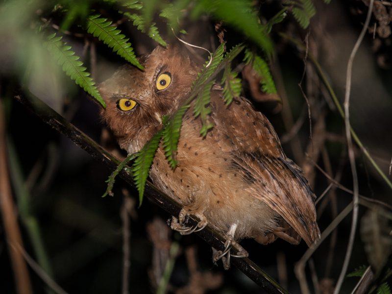 Ceylon-Zwergohreule (Otus thilohoffmanni) - Foto Helmut Wizisk