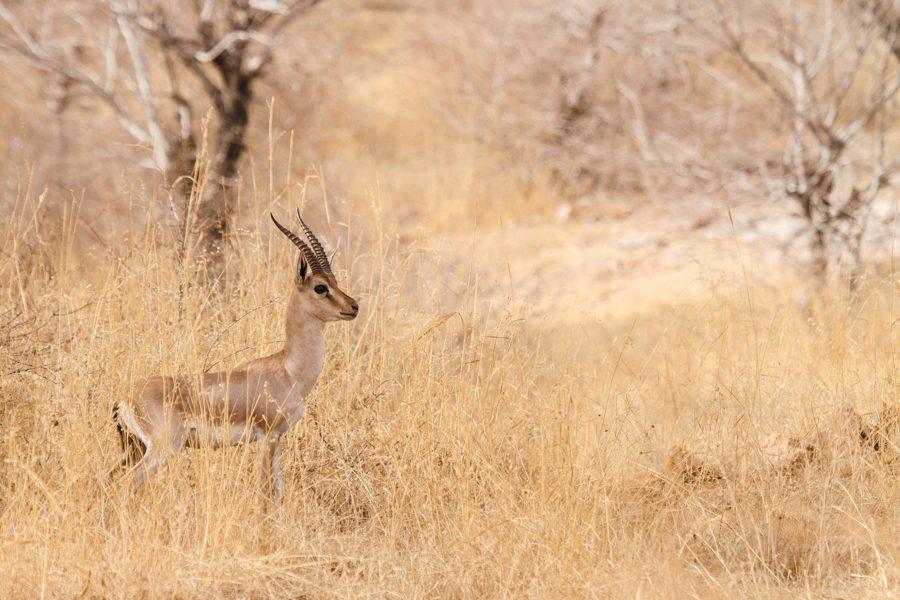 Gazella bennettii