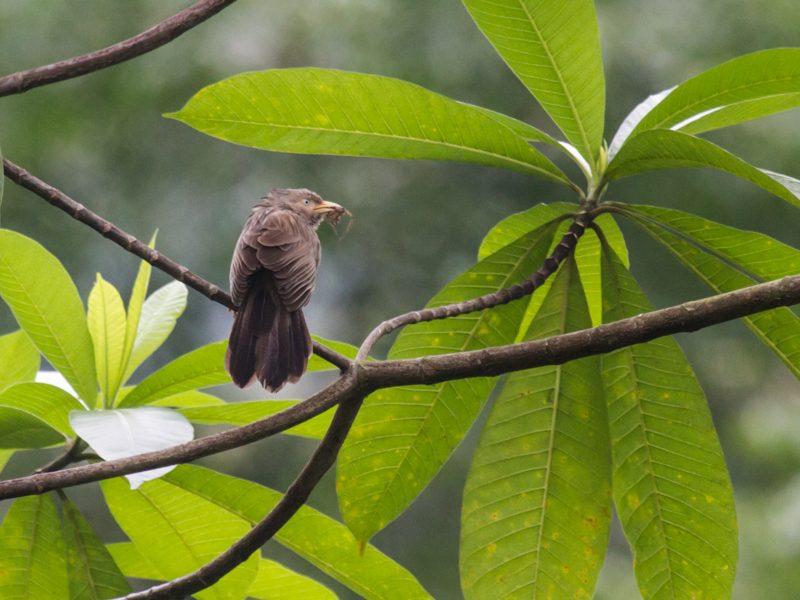 Gelbschnabel-Schwatzhäherling (Turdoides affinis) - Foto Ulrike Wizisk