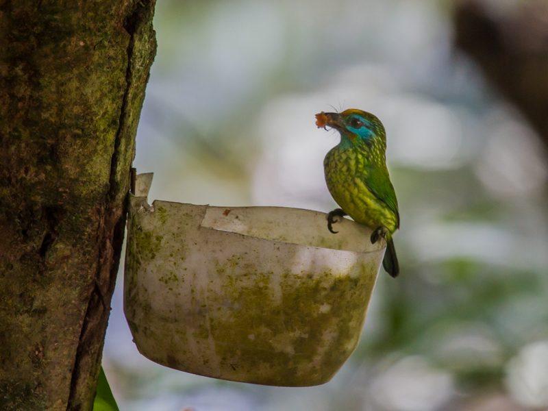 Goldstirn-Bartvogel (Psilopogon flavifrons) - Foto Ulrike Wizisk