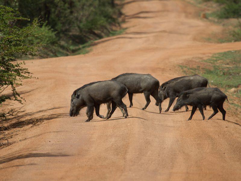 Wildschweine im Udawalawe NP. - Foto Ulrike Wizisk