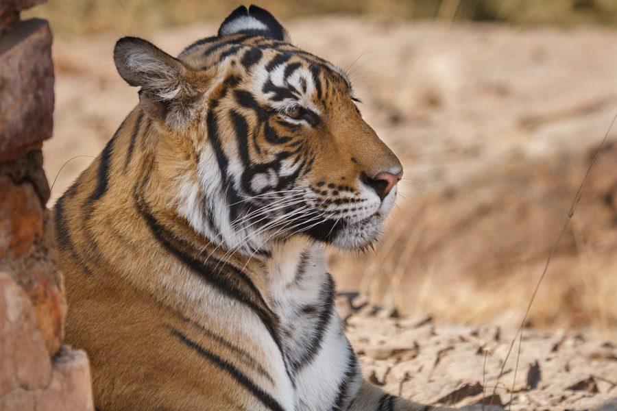 Panthera tigris tigris