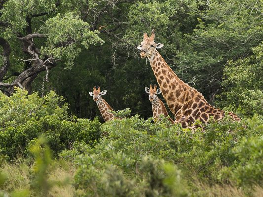 Giraffa giraffa giraffa