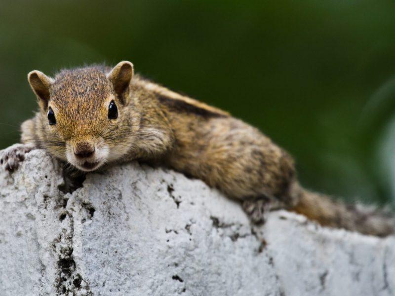 Layard-Palmenhörnchen - Foto Ulrike Wizisk