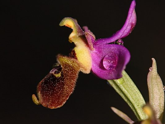 Ophrys x pielteri