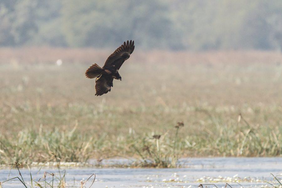 Rohrweihe - Foto U. Wizisk