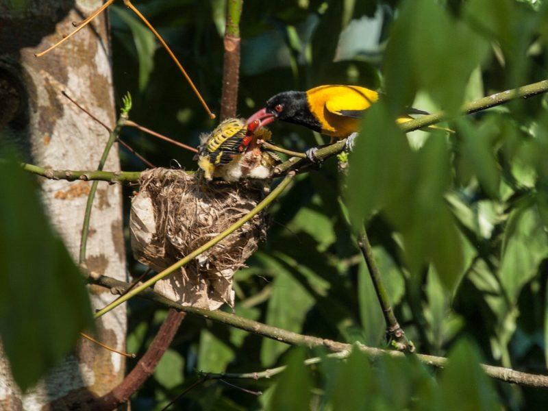 """Sri-Lanka""-Bengalenpirol (Oriolus xanthornus ceylonensis)  - Foto Helmut Wizisk"