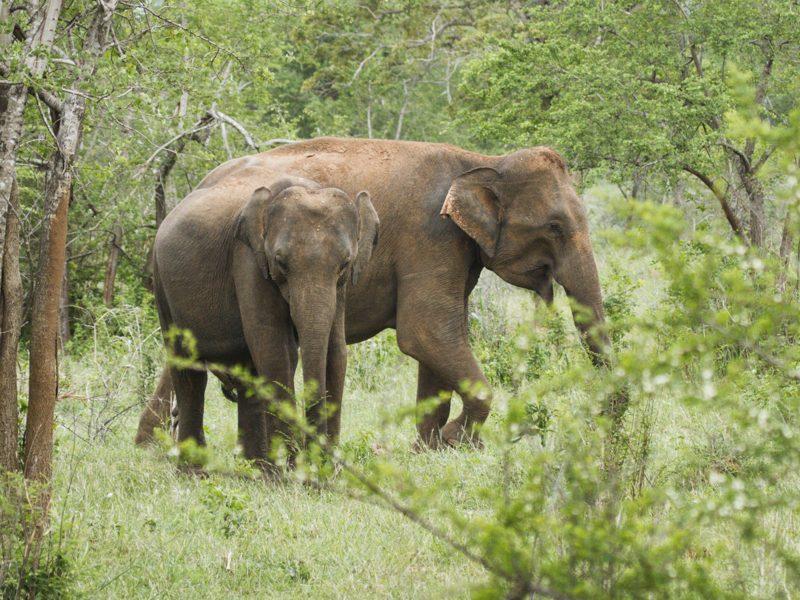 Sri-Lanka-Elefant