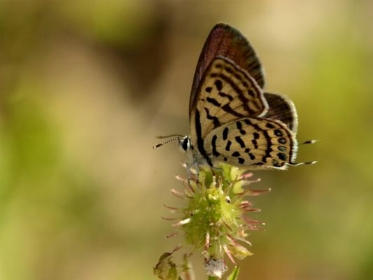 Tarucus balkanicus - Foto Simeon Gigov